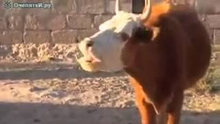 прикол коровы