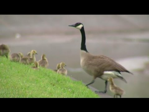 Trending: Mother goose calls on Police officers to free her baby