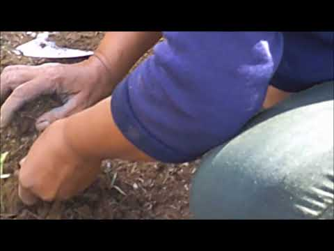 BEAUTIFUL FILIPINA PLANTING WATERMELON FROM AMERICA EXPAT LIVING IN PHILIPPINES