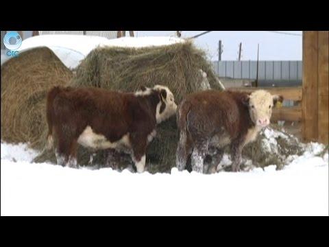 Купить корову и получить компенсацию за счёт регионального бюджета