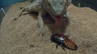 Bearded Dragon Vs Hissing Cockroach and Giant hornworm caterpiller