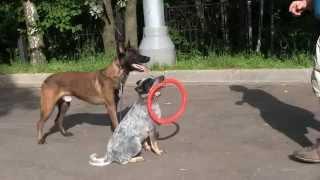 Обучение собак, кликер
