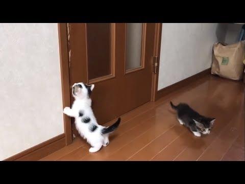 ドアを開けろと訴える子猫がかわいい