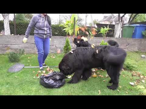 """Newfies are always ready to """"help""""😊"""