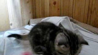 Котёнку 1 месяц - учиться играть