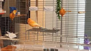 Śpiew pomarańczowego kanarka