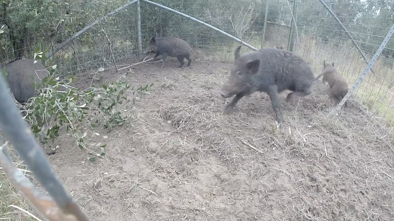 How to catch wild hogs