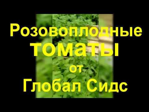 Астрахань выбирает томаты от Глобал Сидс!