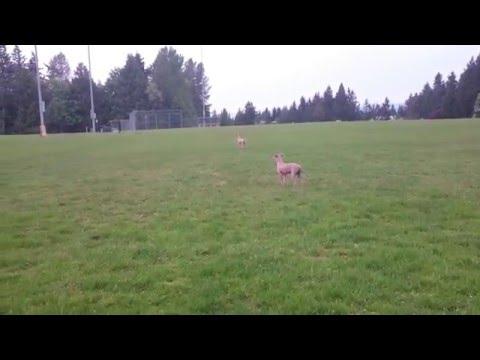 Italian Greyhound runs across field twice REALLY FAST. Qualicum Beach.