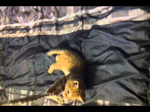Funny kitten playing and tries to meow