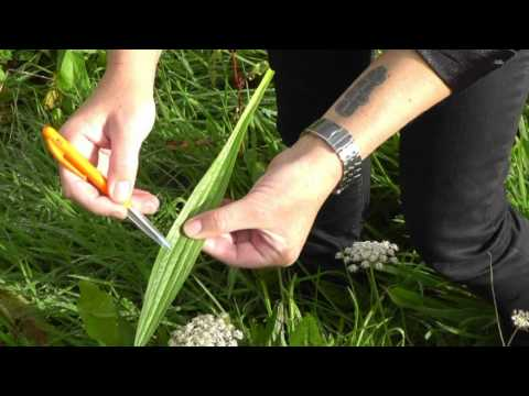 Waiheke Walking Festival 2012 presents: Helen Elscot - Medicinal Plants in The Wild.
