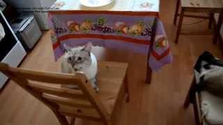Улётное видео! Как два тайских кота отзываются на своё имя! Тайские кошки - это чудо! Funny Cats