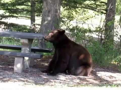 Bear At A Picnic Table. Waterton, Alberta