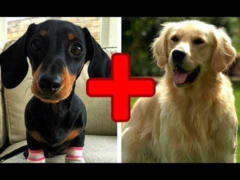 10 Amazing Cross Breed Dogs (Mixed Dogs) Part 2