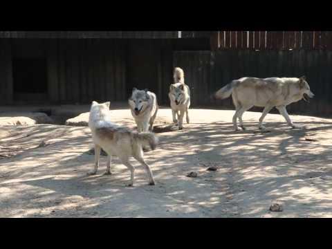 Lobos siberianos jugando en el Zoo de Madrid - 23/10/2010
