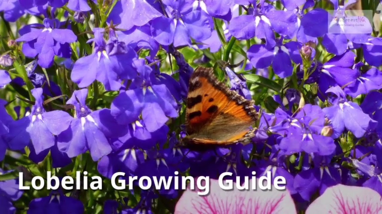 Lobelia Plant How To Grow And Care For The Cardinal Flower