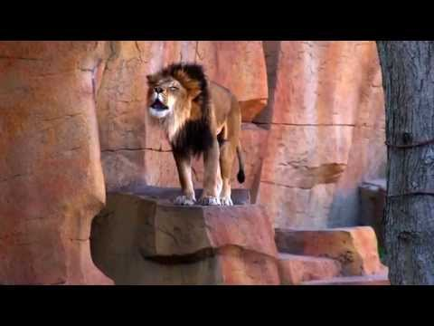 Lion Roars At Brookfield Zoo