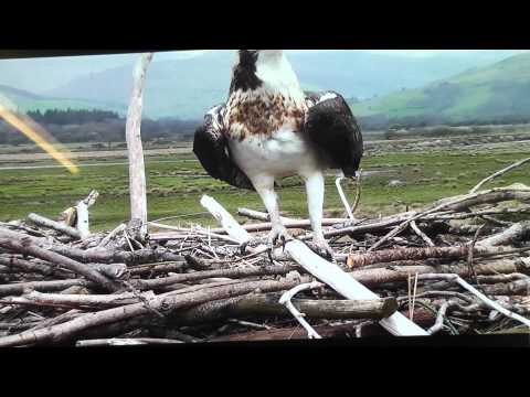 DYFI OSPREY PROJECT At Cors Dyfi Nature Reserve Wales Britain 8/04/2012 3