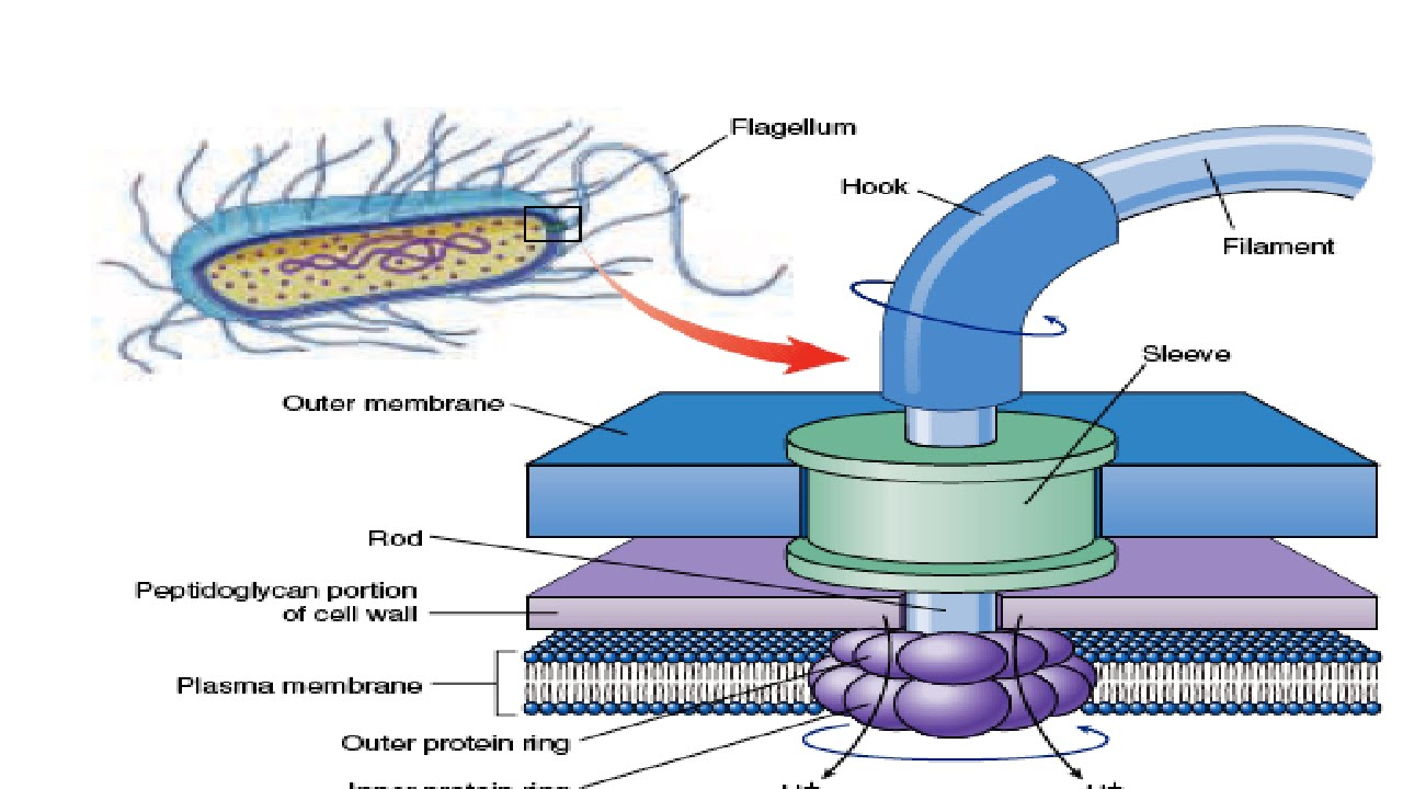 Structure & Working of Bacterial Flagella  YouTube
