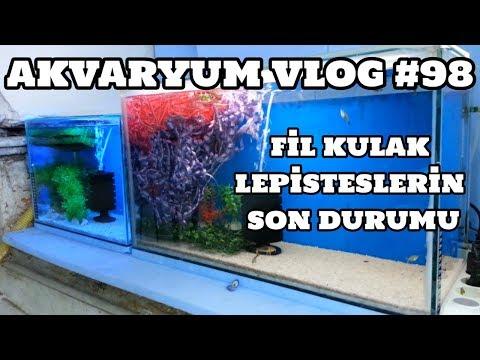 Akvaryum Vlog #98 (Fil Kulak Lepisteslerin Son Durumu) [03.08.2017]