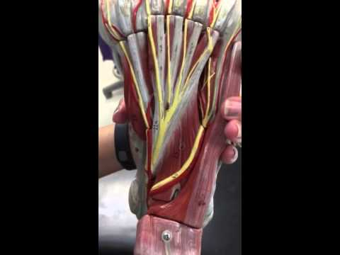 TCC bio141 lab foot model - YouTube