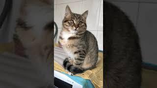 Li Hua Cat 狸花猫 tabby cat 2