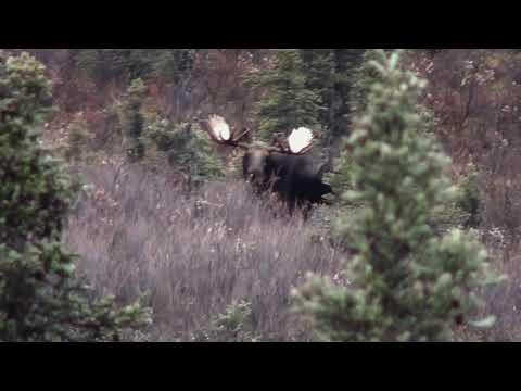 Hunt Moose? Watch This!