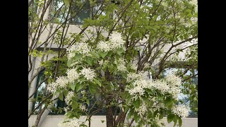 [이팝나무] 암꽃과 수꽃이 딴나무에서 핀다고?