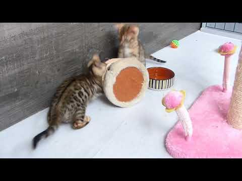 How to socialize Bengal kittens.Benga l kittens dancing the Samba