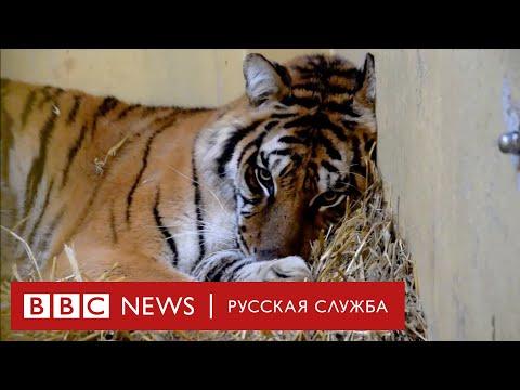 Тигры в подарок: почему изможденные животные так и не добрались до Дагестана