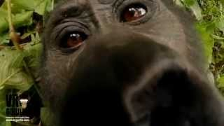 Kissed By A Wild Mountain Gorilla (Selfie) thumbnail