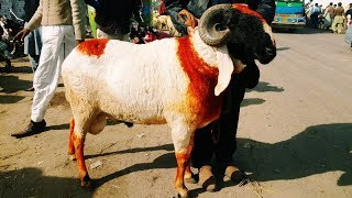 KAJLA - Sheep for Sale in Lahore - SUB BIKTA HAI LAHORE BAKRA MANDI MEN - 10 January 2018