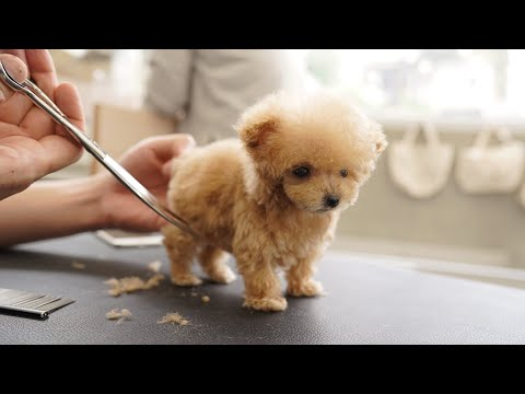 A very small puppy grooming for the first time at 3 months of age (Toy Poodle)