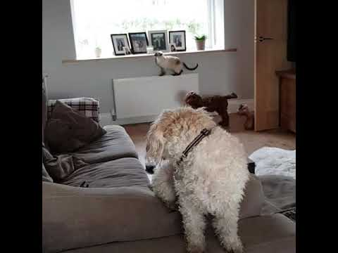 Bear the cavapoo at it again (no cats were harmed in the making of this video) Freddy the Cavachon