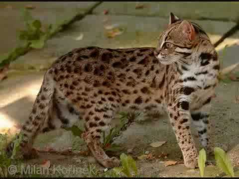 The Cat Family - Wild Cats of the World
