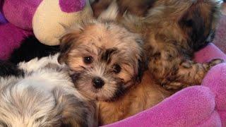 Malshi Maltese Shih Tzu Pups For Sale Florida - Funny Missy