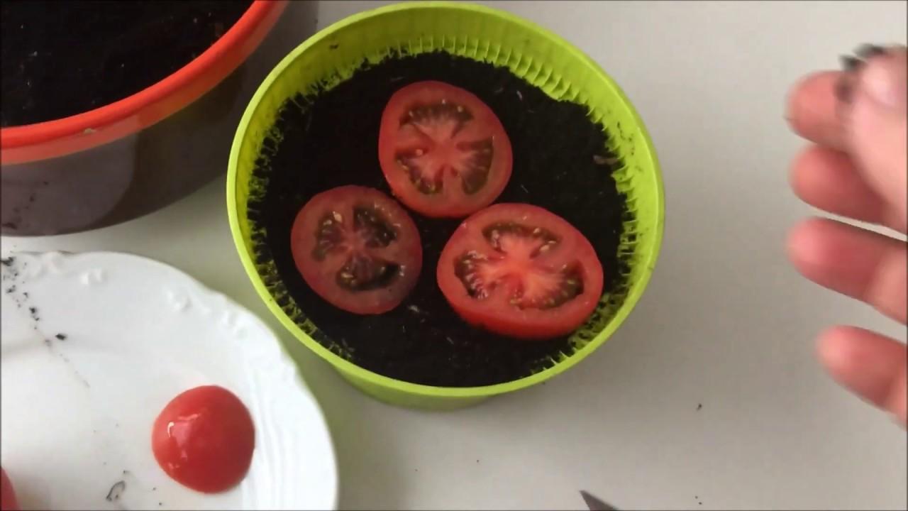 Top Tomatenpflanzen aus einer ganzen reifen Tomate ziehen, Tomaten im @BN_11