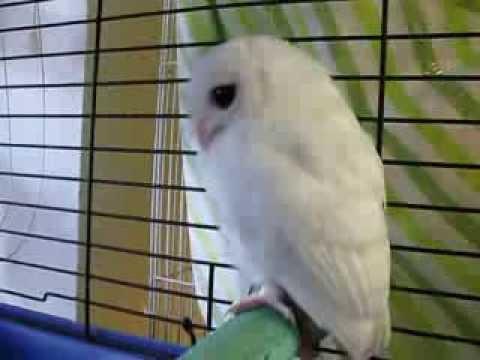 White Screech Owl - Leucistic or Albino. Update to