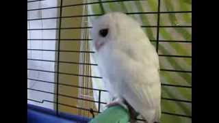 White Screech Owl - Leucistic or Albino. Update to