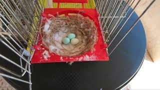 متى يفقس بيض الكناري ولماذا نستبدل البيض الحقيقي ببيض اصطناعي؟