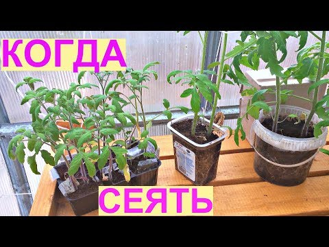 СУПЕР РАННИЙ УРОЖАЙ томатов. Когда сеять на рассаду?