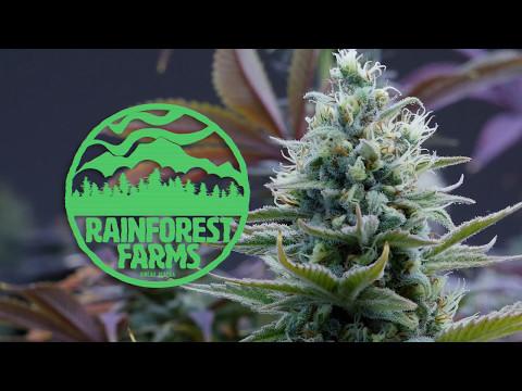 Juneau, Alaska's First Marijuana Dispensary's Initial Crop