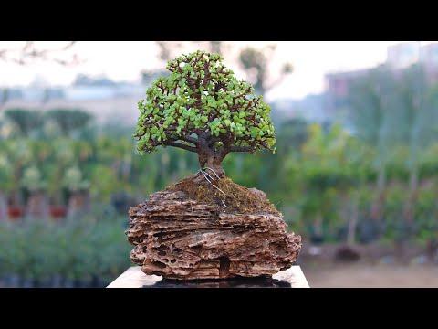 Bonsai Tree on