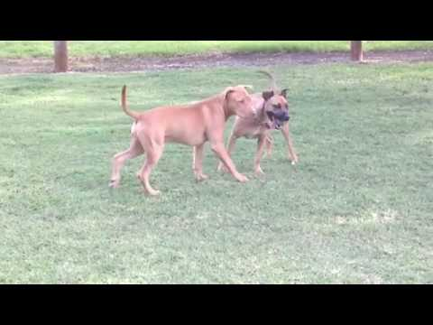 Red nose bloodline jeep pit bull tom'e aussi pride jdb YouTube