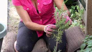 How to Prune Rosemary After a Freeze : The Chef's Garden