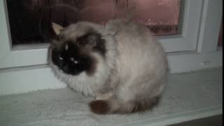 Балинезийская кошка по кличке Дурёха!