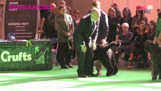 Crufts 2016 - Bouvier Best of Breed