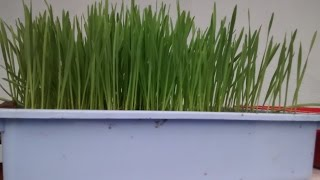 How To Grow Wheat Grass And Make Juice Of It?