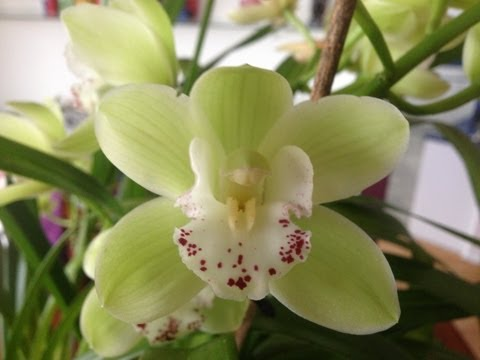 Easy Cymbidium Orchid Care Culture And Re