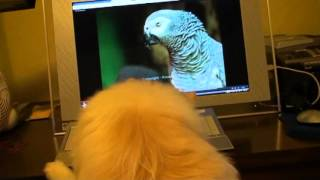 Trouble The Pom Watches Einstein The Parrot